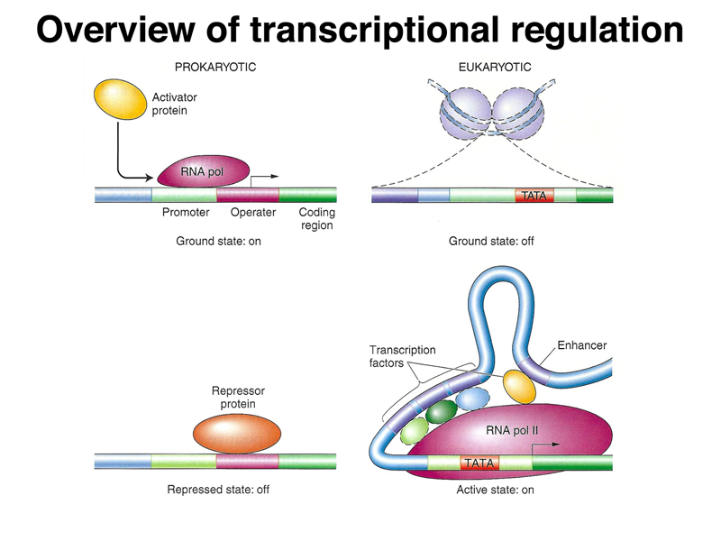 essays on gene regulation Gene regulation is a label for the cellular processes that control the rate and manner of gene expression a complex set of interactions between genes, rna molecules, proteins.