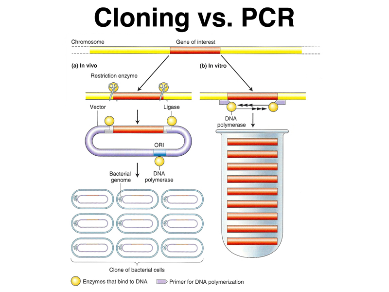 different views on cloning Successful application of cloning, or nuclear transfer technology, in a mammal more significantly, the nucleus of the cell that produced dolly came from a six- year- old ewe, thus showing that scientists may turn on genetic instructions.